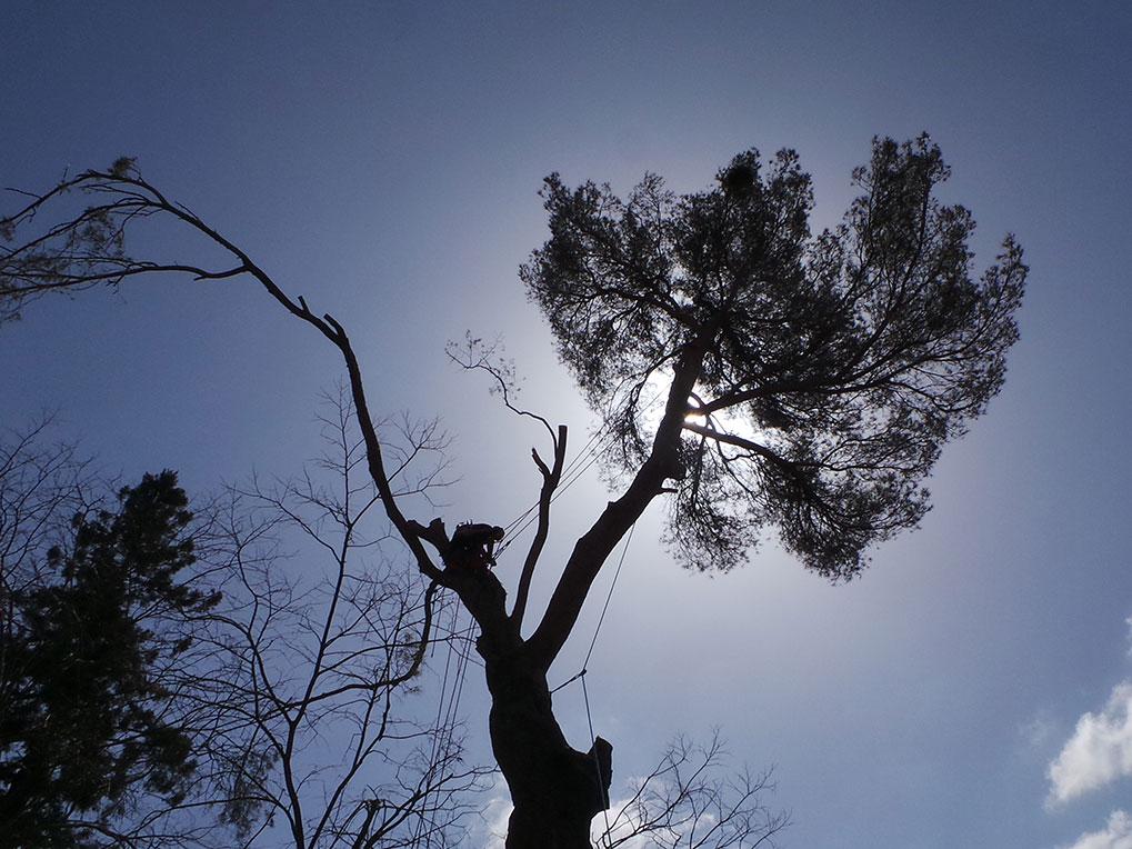 Abattage d'un pin au Chateau de la Barben